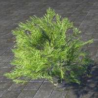 bush_summerset_spruce