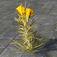 flower_yellow_oleander