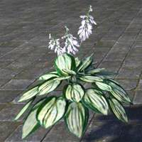 plant_blooming_white_hosta