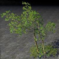 saplings_fragile_autumn_birch