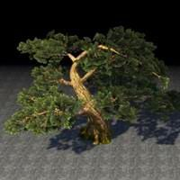 tree_ancient_cedar
