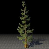 tree_ancient_mountain_pine