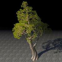 tree_sturdy_juniper