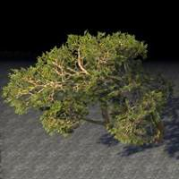 trees_paired_leaning_juniper